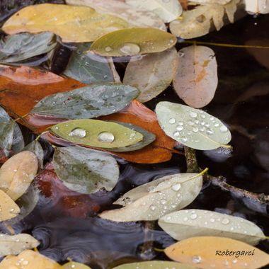 Hojas de acacia flotando en el agua en un dia de lluvia otoñal. Sierra de Francia-Spain