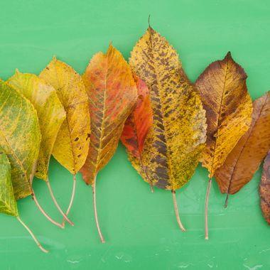 Hojas del mismo frutal en diferentes fechas del otoño, como muestrario de la evolucion del color en funcion del contenido de clorofila de la hoja.
