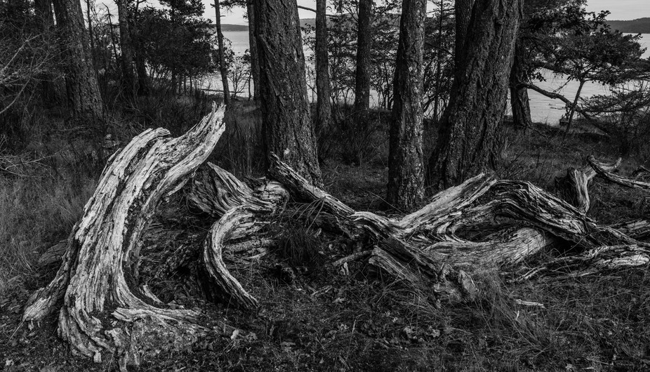 A rotting tree spreads out beside the trail. What rots away first and what remains creates this s...