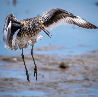 Willet, Breeding - Anahuac NWR