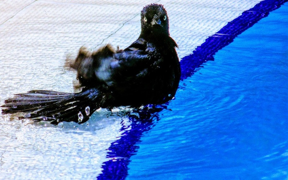 Alongside the swimming pool the bird walked then proceeded to wash the expression is priceless.