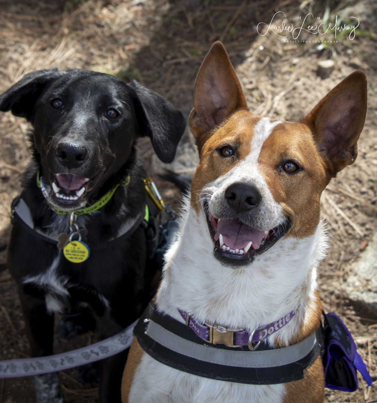 Hiking on Goldwater Lake today with the girls Dot - age 2 1/2 and Speckles 6 months (black) her 2nd hike. When asked if they like hiking this was their response, smiles! ..they are both rescues and permanently have homes with us.
