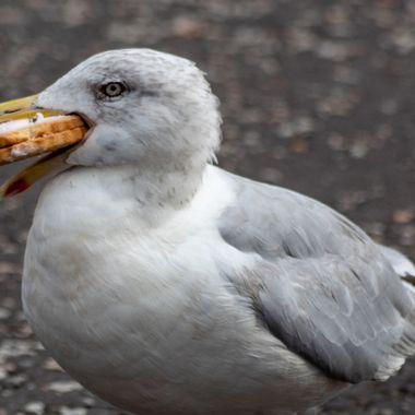 herring gull-3577