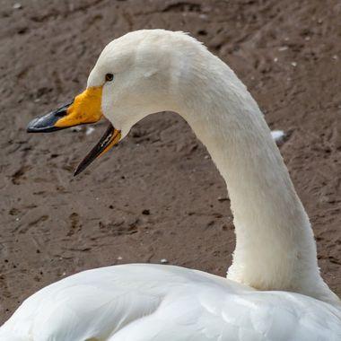 swan-3543
