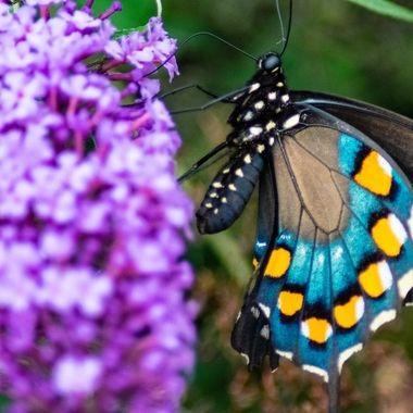 Butterfly2_Cherokee