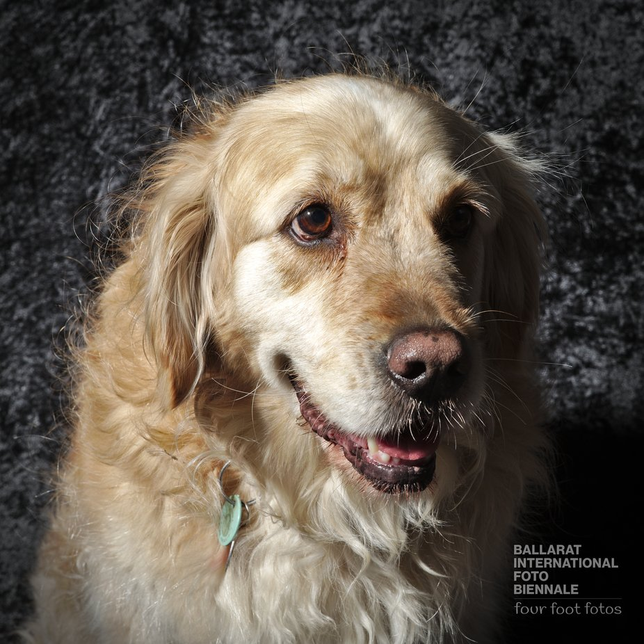 Photographed at the Ballarat International Foto Biennale. These dog portrait sessions were a first in the events agenda of the biennale. It was a lot of fun and a great success. K1SD8965
