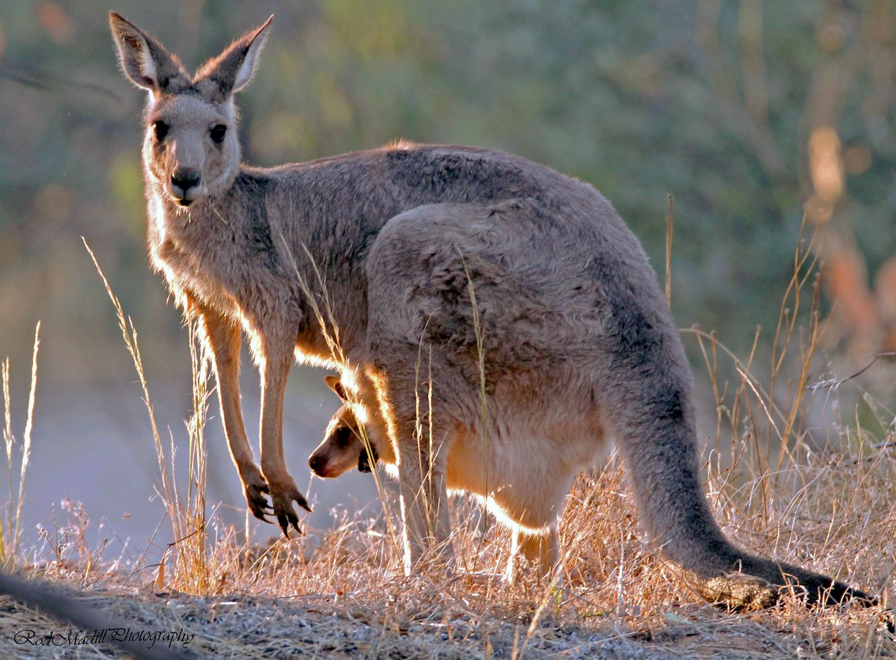 Roo with Joey ,camping at Moama