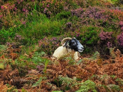 Sheep and the colours of Skye