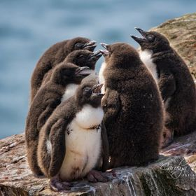 "These juvenile Rockhopper penguins are too young to swim.  So, like human teenagers they are ""chilling out"" together! I've titlled..."