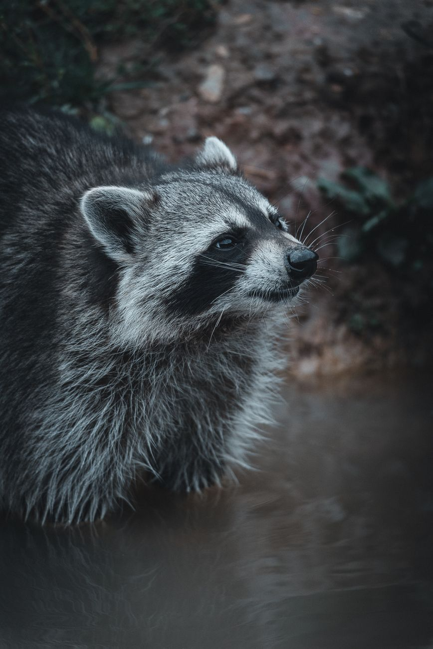 Zorro raccoon