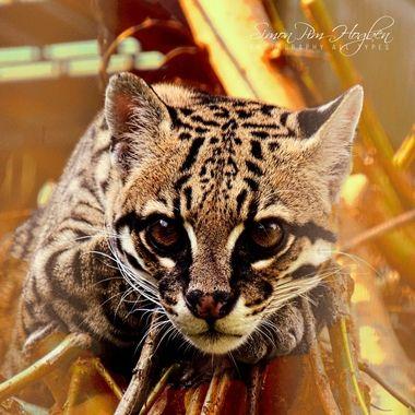 PIM_3263ls  Wildcat