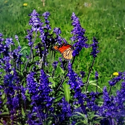 It's a Monarch, a Monarch butterfly on lavender... I had to zoom in, lol *#hugZz ツ