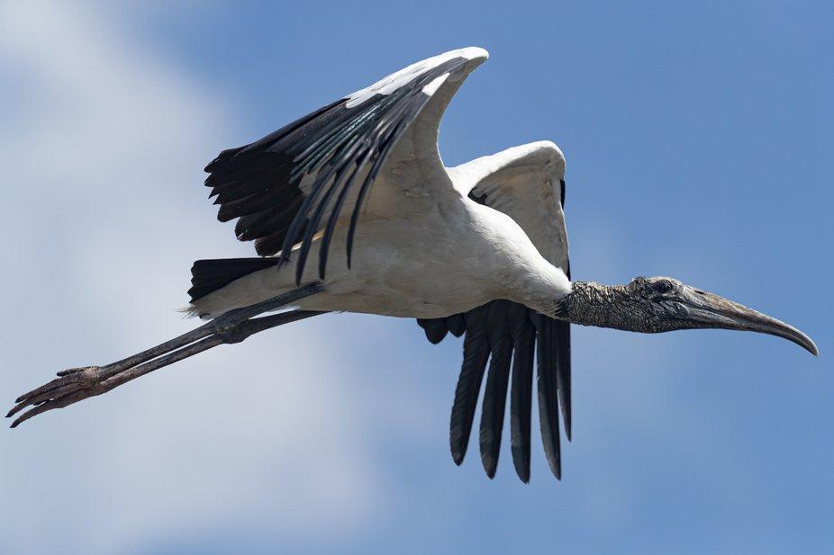 Wood crane in flight