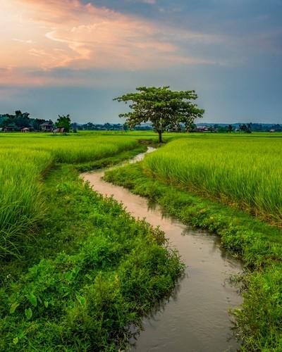 One tree paddy