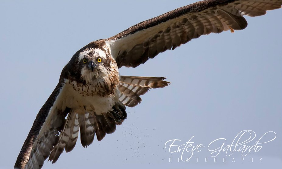 The osprey or more specifically the western osprey (Pandion haliaetus) — also called sea hawk, ...