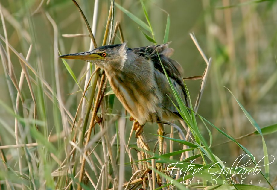 The little bittern or common little bittern (Ixobrychus minutus) is a wading bird in the heron fa...