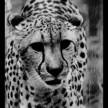PIM_3363lr_pe  Cheetah