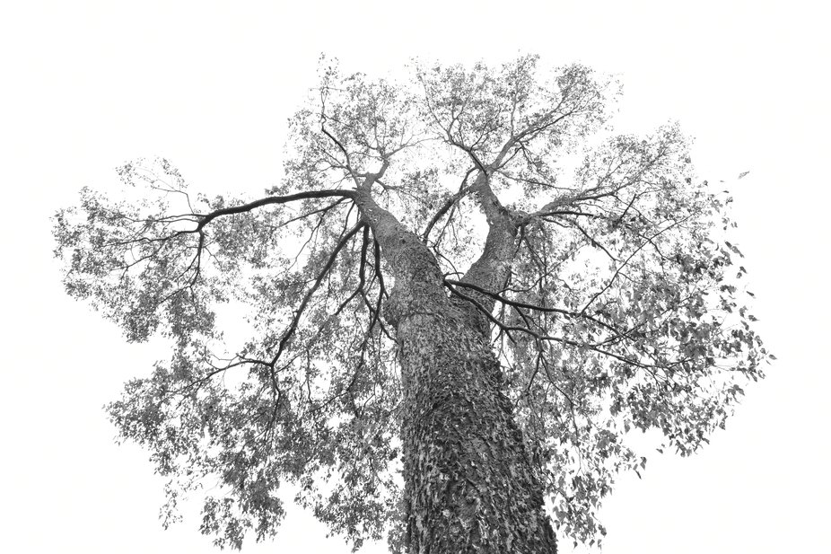 Single Tree From Below in B&W