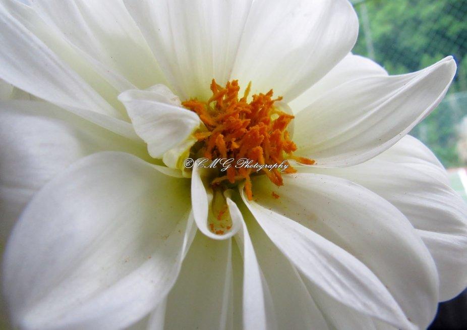 Dahlia Pure White