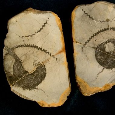 Perispinctes, Jurassic Era, 160 Million Years Old