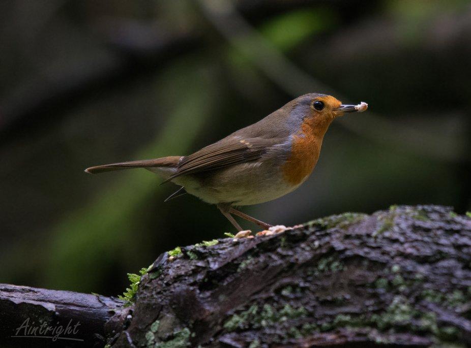 Robin#27