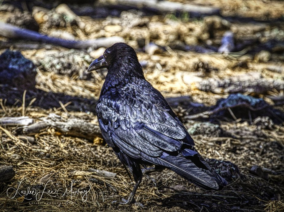 Thinking The Raven by Edgar Allen Poe..    Yes there are Ravens not Crows in Arizona