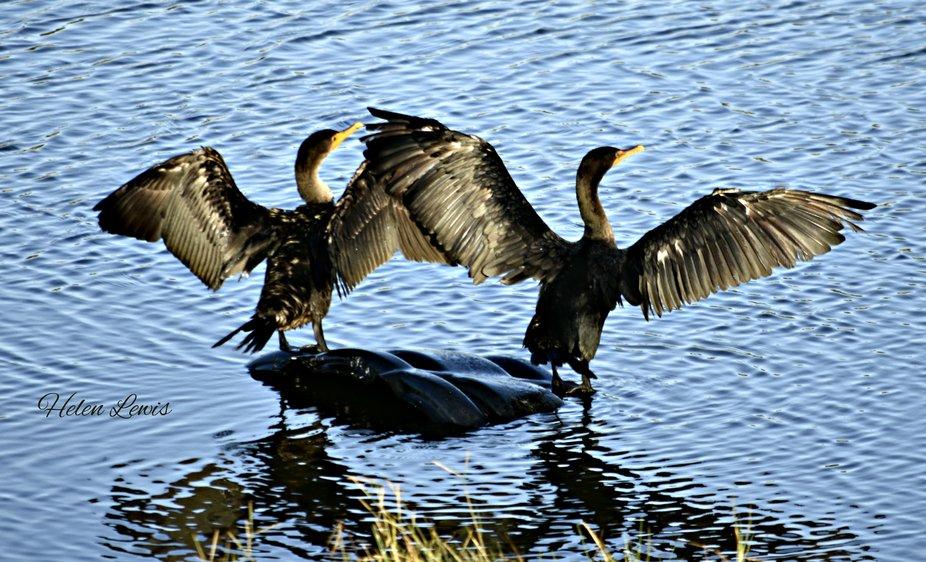 Synchronized Cormorants