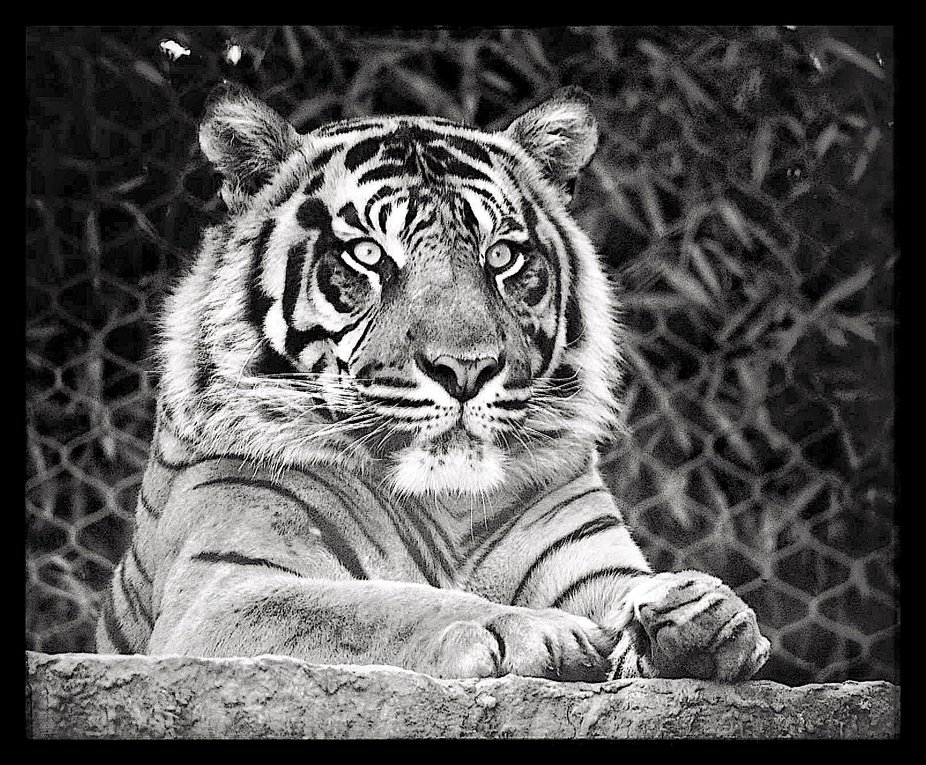 Male tiger at KC Zoo