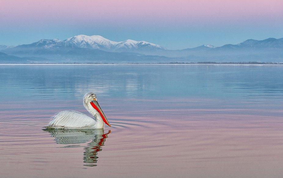 Dalmatian Pelican Sunset
