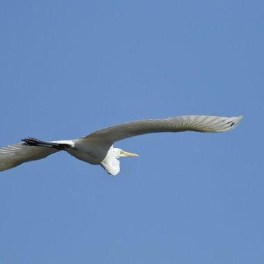 Garceta grande en vuelo sobre el rio Alagon (Sierra de Francia-Spain). Del tamaó de una Garza real, pero toitalmente blanca.Invernante.Cria en las marismas del Guadalquivir y del Ebro.