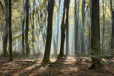 Sunrays in the beech forest
