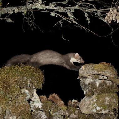 Garduña (Martes foina), mamifero carnivoro y nocturno, propio del bosque mediterraneo. Sierra de Francia-Spain Barrera de IR y 3 flashes