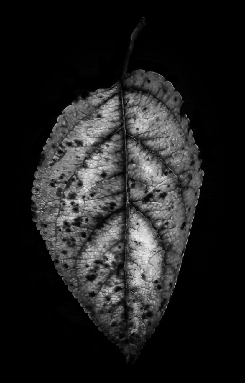 An autumn leaf closeup against black background