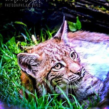 Old-2014 (51)_pe     Lynx