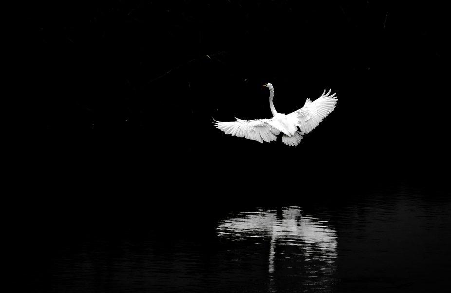 Egret, the white angel
