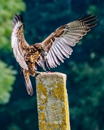 Juvenile Buzzard Eagle