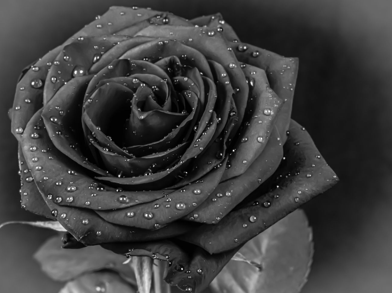 Rose with water drops in black and white closeup