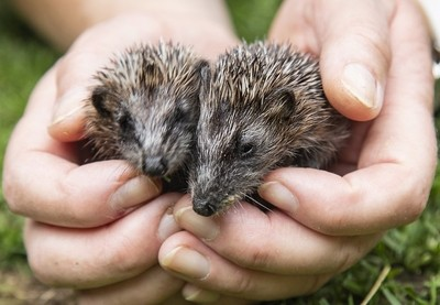 Rescued baby hedgehogs