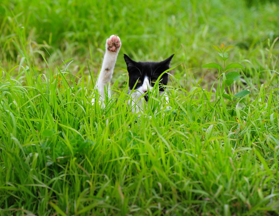 Farm cat lifts his leg as if asking a question while out in the deep field hunting mice
