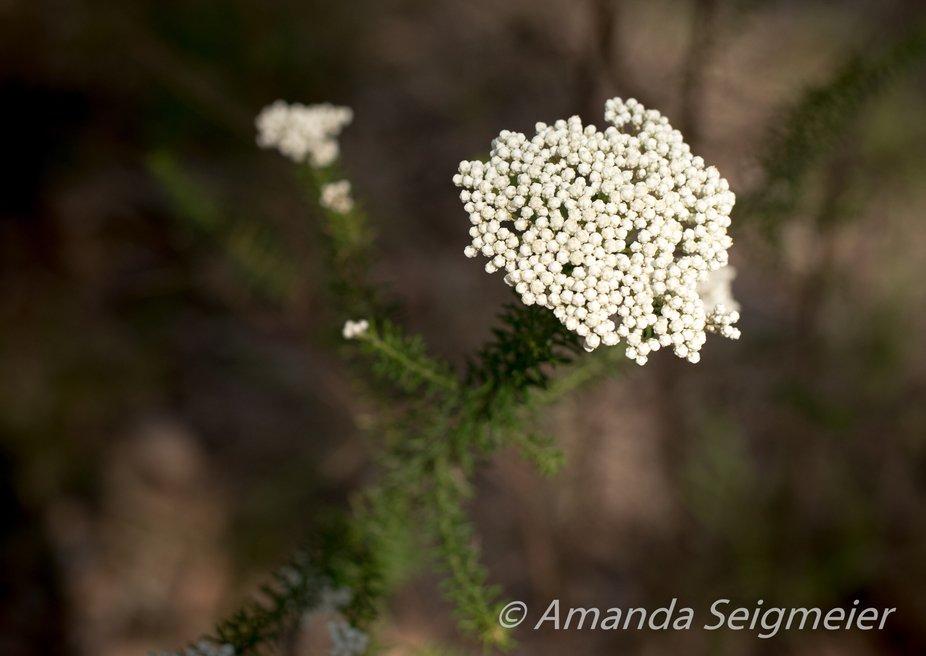 White flower-looks like popcorn up close!!