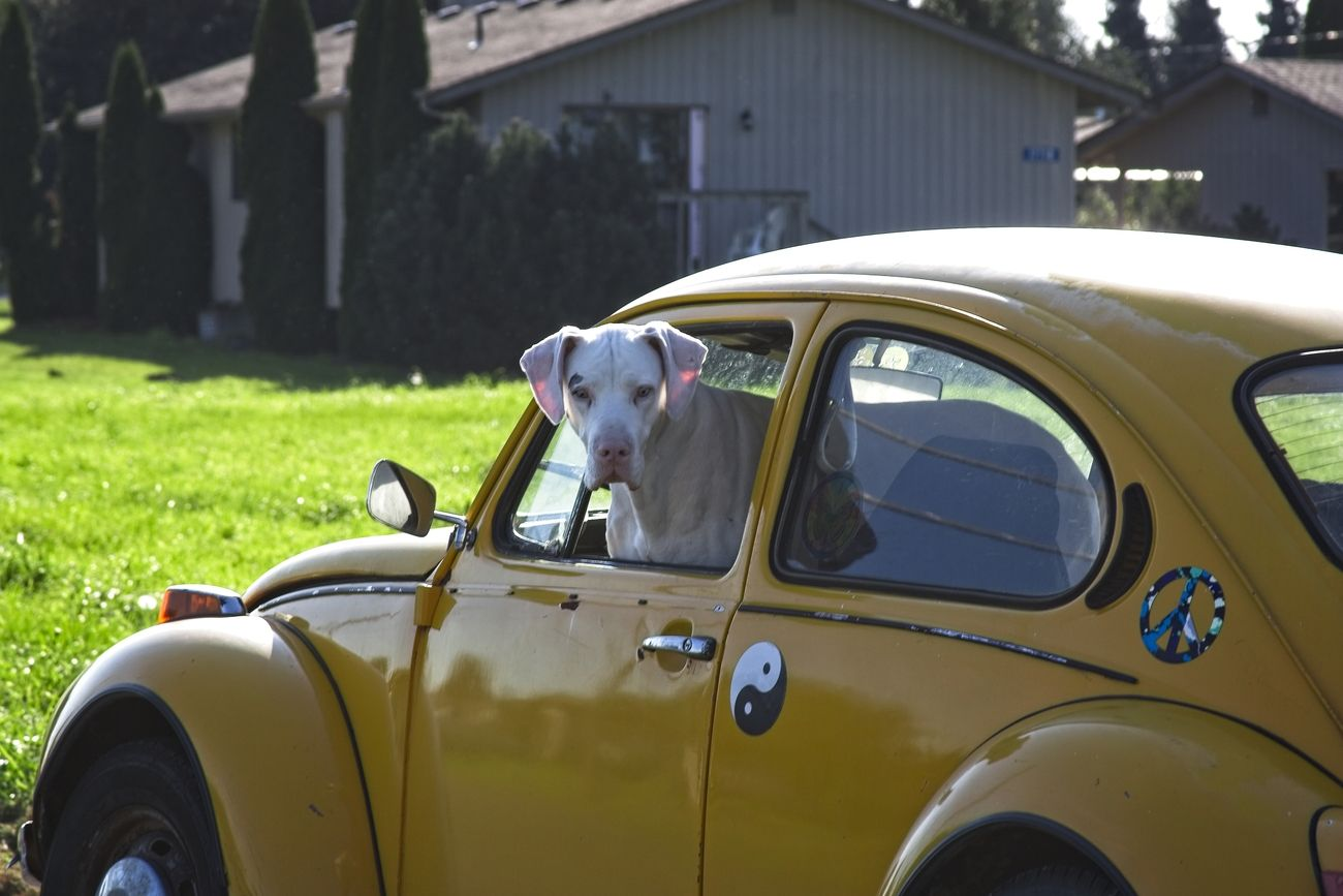 Bella the Great Dane in a Bug