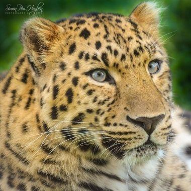 York-WLP (124)_pe    Leopard.