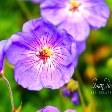 PIM_4498     Petals Mauve.