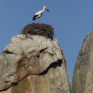 Nido de ciconia comun o blanca (ciconia ciconia), sobre bolos de granito en los Barruecos (Caceres-Spain).