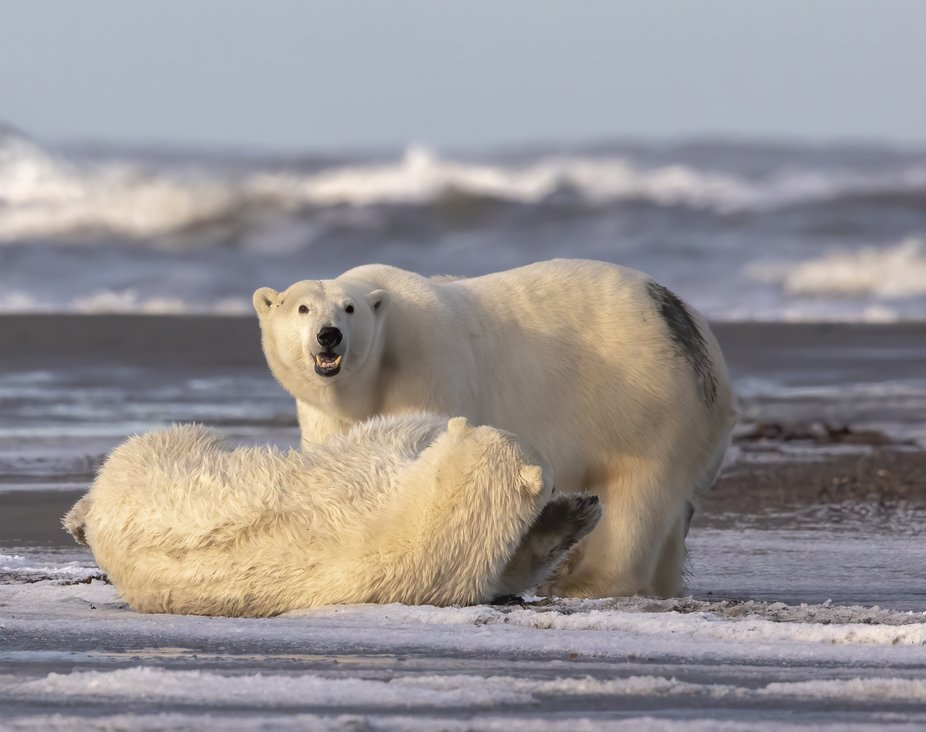 One of two polar bear cubs with this female and he/she had taken swim and then proceeded to roll ...