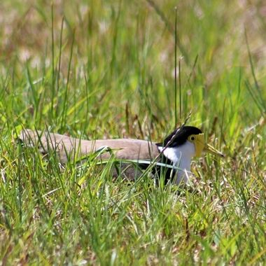 Plover sitting on nest