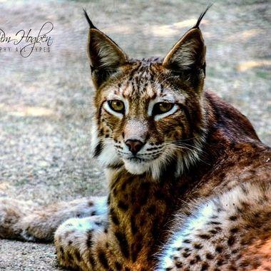 saba-2014 (56)_pe    Lynx