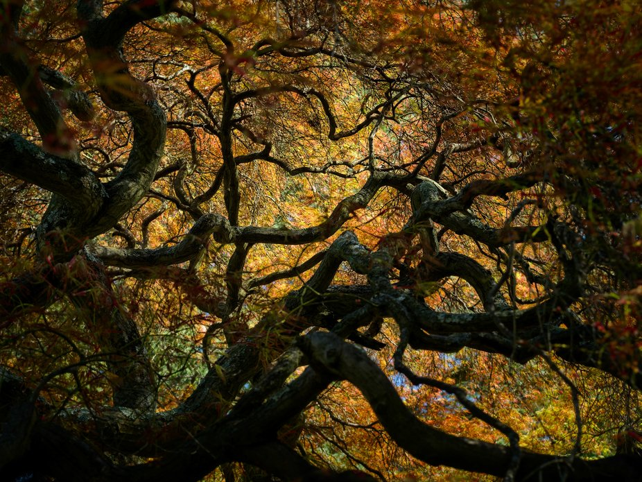 Shot looking straight up a large Japanese Maple in the late spring.