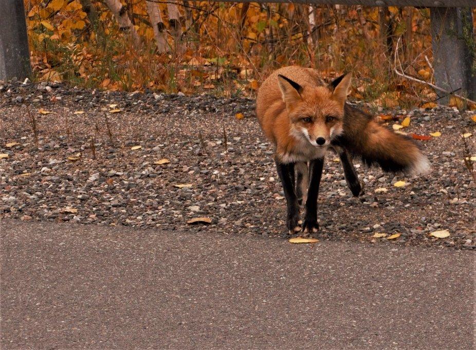 Fox on Skead Road 2 DSC06620 (2)