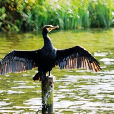 Cormorant drying his wings.